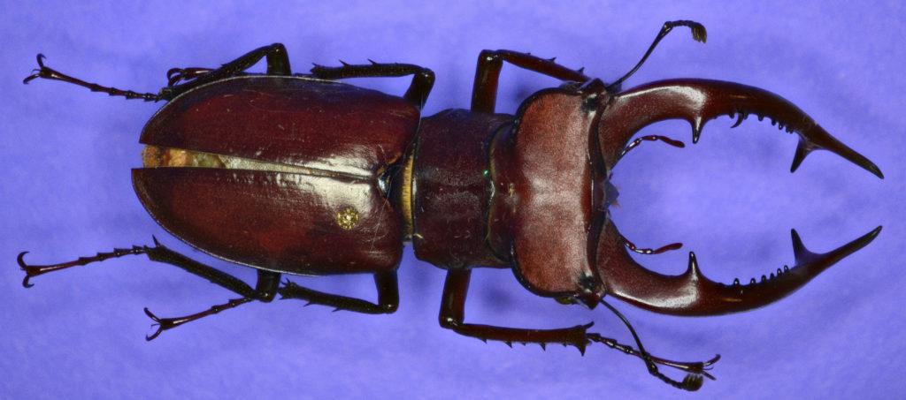 Lucanus elephus in dorsal view