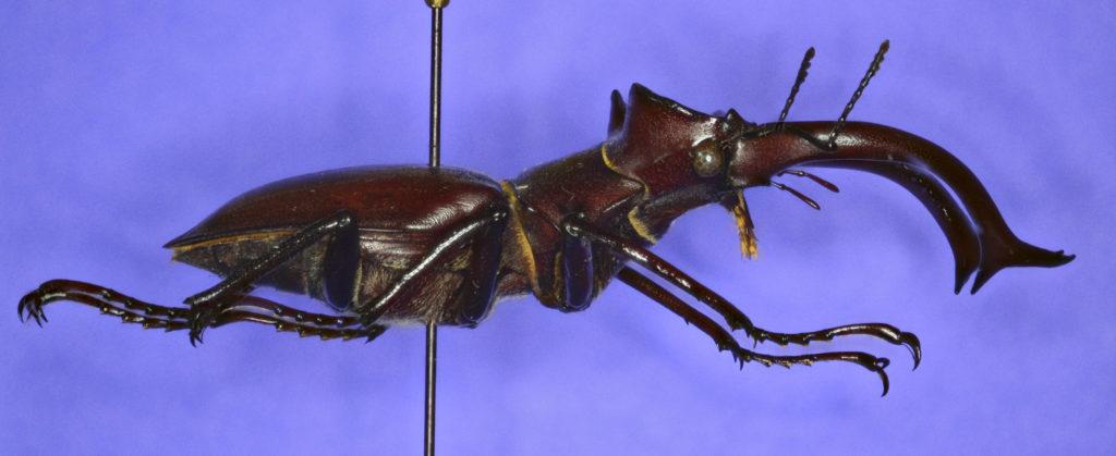 Lucanus elephus beetle in lateral view.