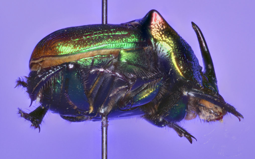 Phanaeus vindex in lateral view