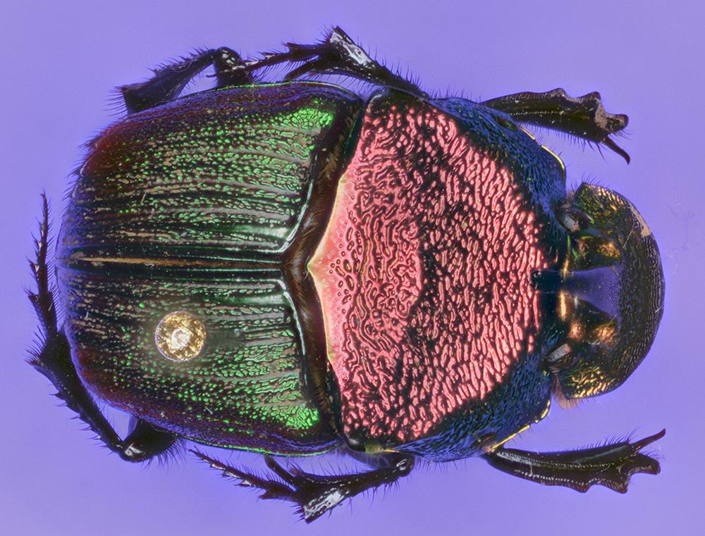 Phanaeus vindex dorsal view